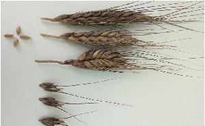 Фенология пшеницы