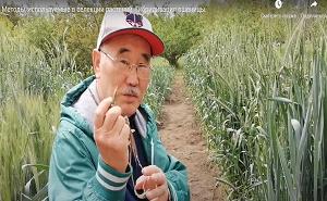 Методы, используемые в селекции растений. Гибридизация пшеницы.